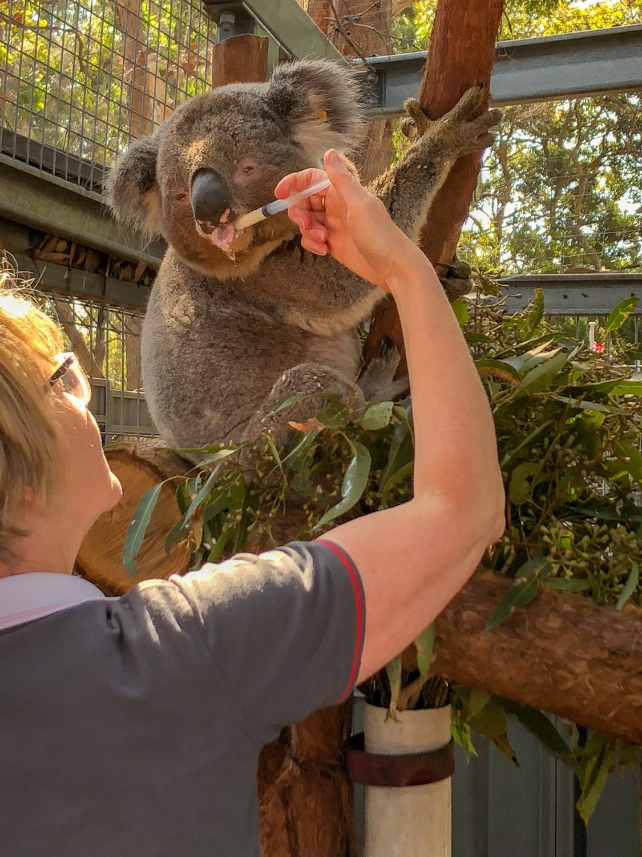 Zu Besuch im Koala Hospital Port Macquarie | The Honeymoon
